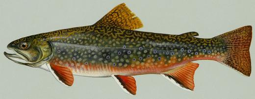commons.wikimedia.org/wiki/File:Brook_trout.jpg